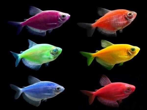 светящаяся рыбка глофиш