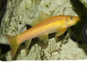 геринохейлус, рыбки харьков