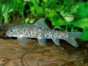 Гарра-руфа, рыбка доктор